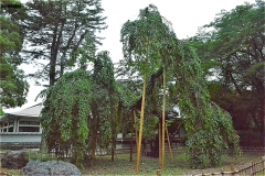 真間山弘法寺:伏姫桜