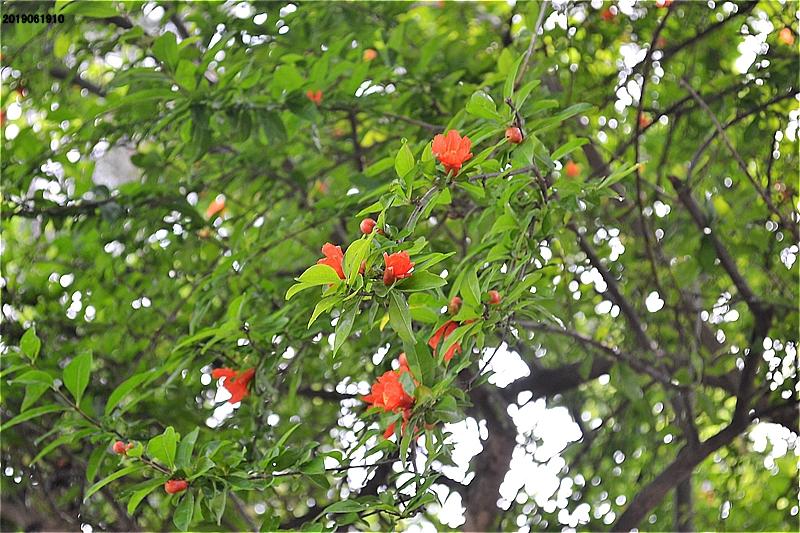 緑道には、あちこちでヤマモモの実が熟して落ちていた。