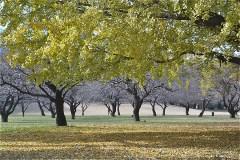野川公園:イチョウの向こうに梅林