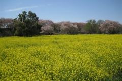 菜の花-権現堂堤