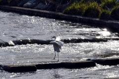 シラサギ-柳瀬川