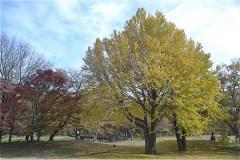野川公園の大イチョウ