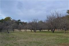野川公園:梅林