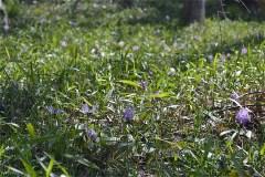 507-稲荷山の森のカタクリ