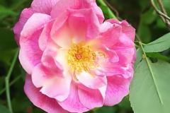 rose-home001